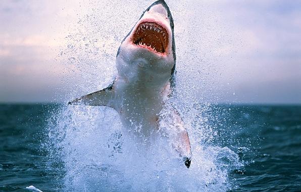 Картинка море, волны, животные, вода, брызги, океан, опасность, акула, зубы, акулы, фото с животными