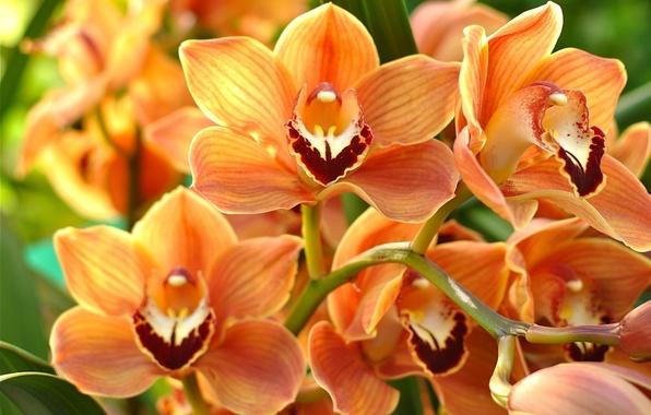 Картинка макро, оранжевый, орхидея