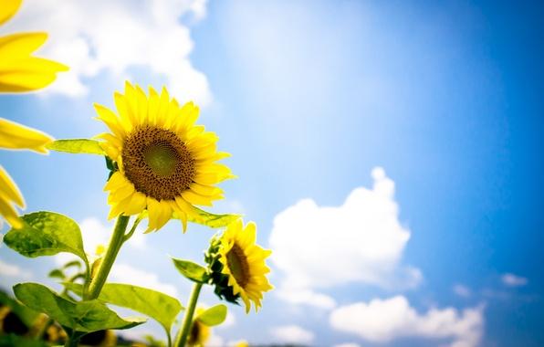 Картинка лето, небо, подсолнухи, природа