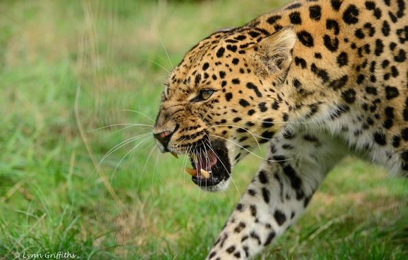 Картинка морда, злость, хищник, ярость, пасть, клыки, оскал, дикая кошка, угроза, амурский леопард