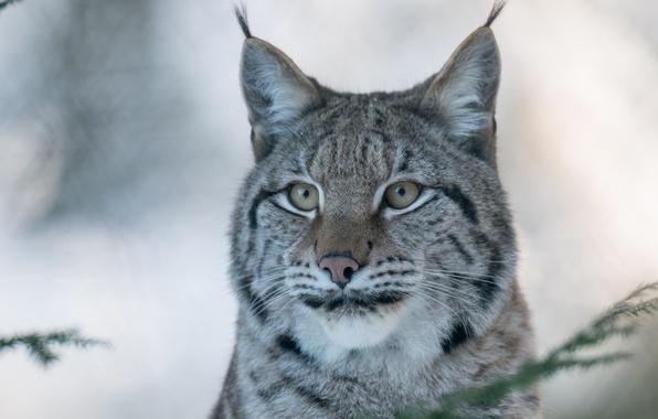 Картинка морда, портрет, хищник, рысь, дикая кошка, (c) P. Meyer
