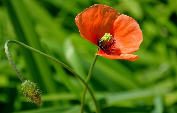 Картинка цветок, мак, макро flowers природа