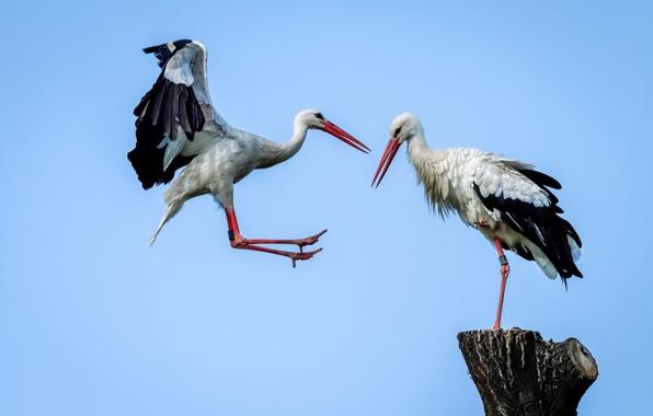 Фото обои птица, крылья, клюв, аист