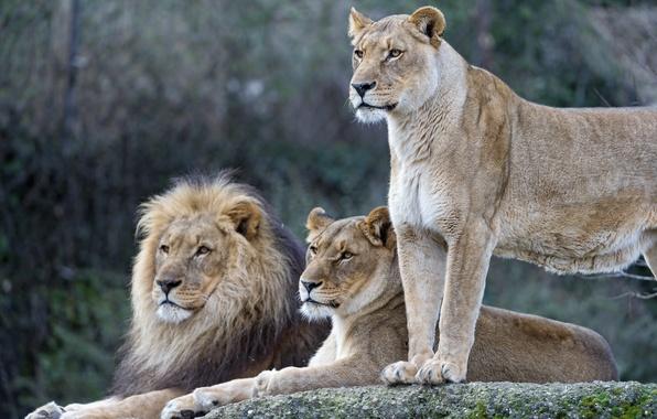 Картинка кошки, лев, семья, львы, львица, ©Tambako The Jaguar