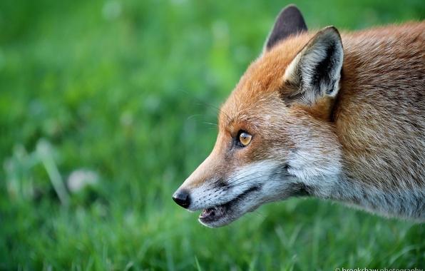 Картинка морда, хищник, лиса, профиль, рыжая, лисица