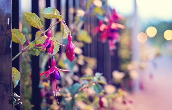Картинка макро, цветы, улица, забор