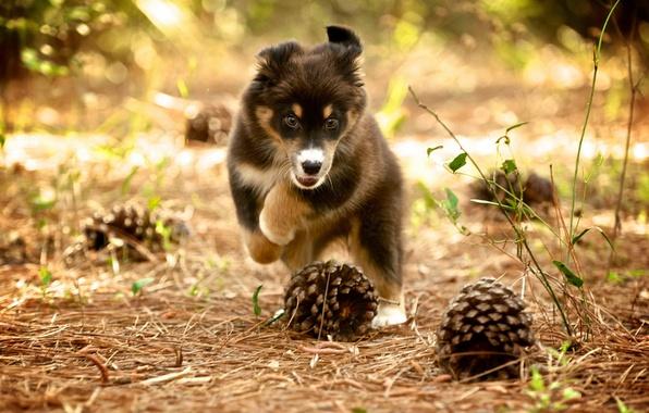 Картинка природа, собака, щенок, шишки