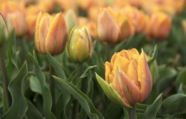 Картинка цветы, весна, тюльпаны, клумба