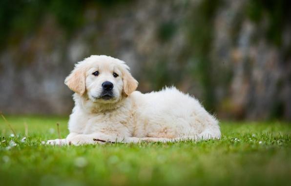 Картинка собака, щенок, боке, Голден ретривер, Золотистый ретривер
