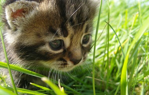 Картинка grass, the, cat, baby