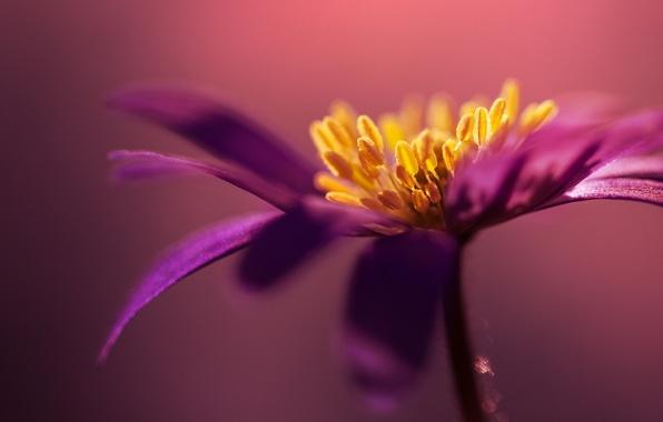 Картинка цветок, макро, сиреневый, лепестки