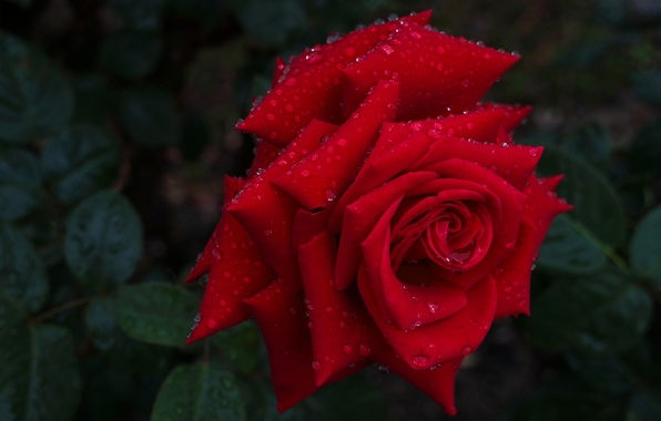 Картинка капли, макро, роза, бутон, красная роза