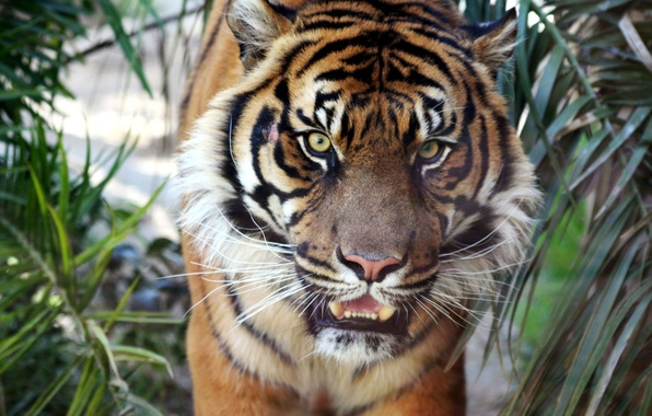 Фото обои тигр, sumatran, tiger