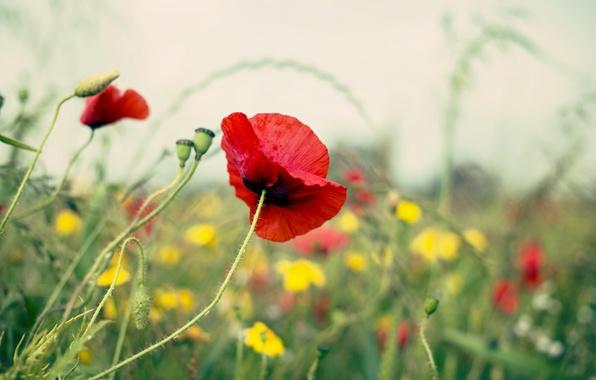 Картинка поле, лето, природа, мак