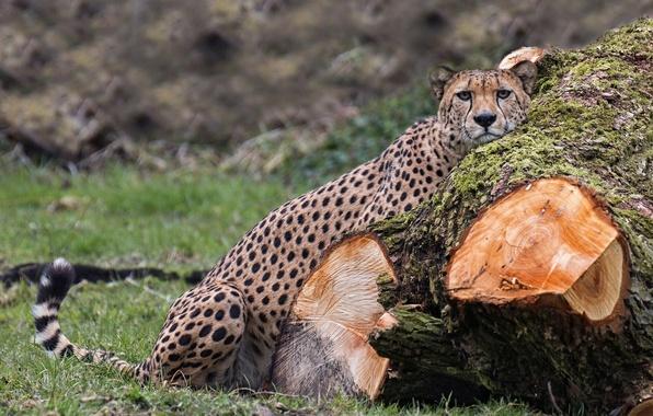 Картинка хищник, гепард, бревно, дикая кошка