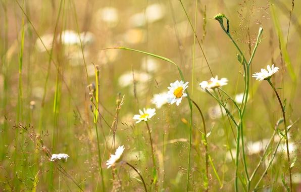 Картинка лето, трава, ромашка, солнечно