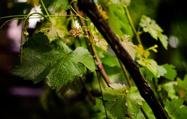 Картинка лето, капли, виноград