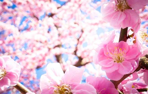 Картинка макро, цветы, ветки, природа, дерево, весна, лепестки, розовые, цветение, слива