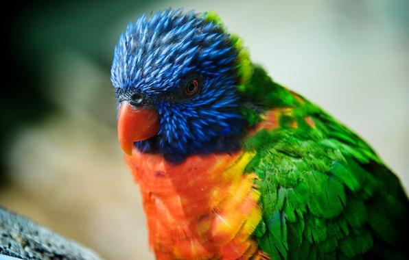 Картинка птица, красота, попугай