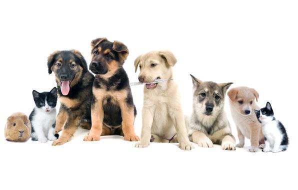 Картинка фото, Кошки, Котята, Собаки, Животные, Морская свинка, Бигль