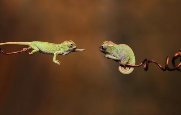 Картинка ветки, 1920x1080, branches, chameleon, reptiles, рептилий, хамелеоны