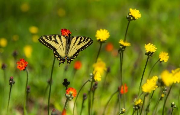 Картинка цветы, бабочка, боке, Парусник главк