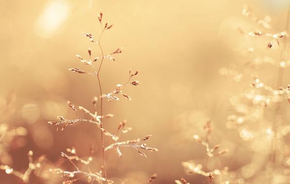 Картинка трава, капли, макро, свет, природа, роса, блики, стебли, цвет, растения, колоски, золотой