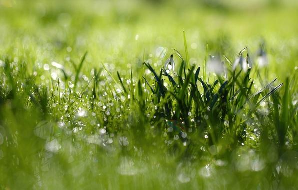 Картинка трава, макро, цветы, роса, блики, весна, утро, подснежники, боке