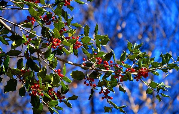 Картинка листья, природа, ягоды, дерево, ветка