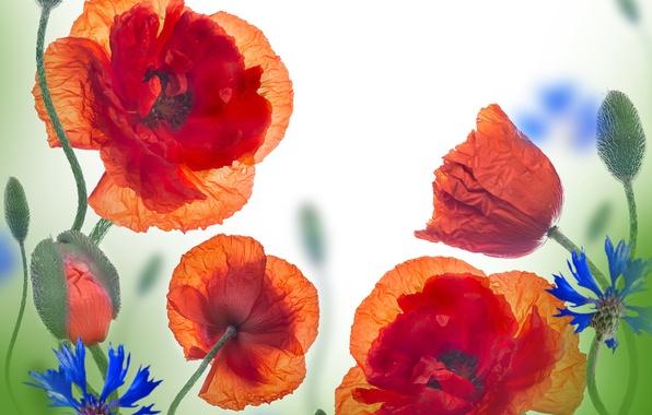 Картинка цветы, маки, flowers, полевые цветы, васильки, poppies, cornflowers, wild flowers