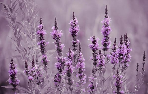 Картинка поле, цветы, луг, лаванда