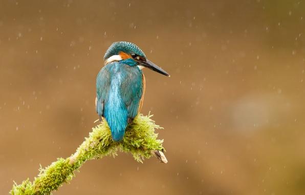 Картинка дождь, птица, мох, ветка, kingfisher, alcedo atthis, обыкновенный зимородок, Andrew Haynes рhotography