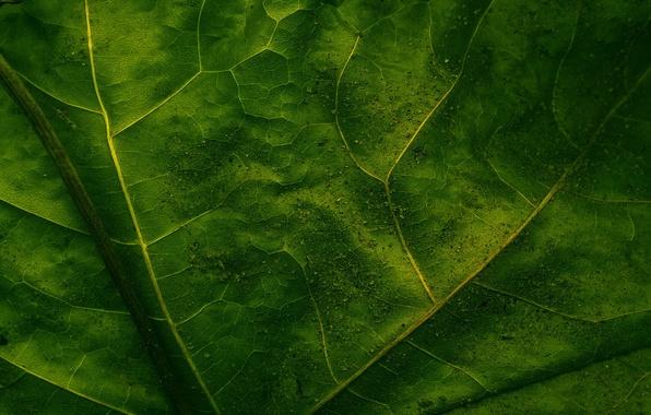 Картинка макро, лист, зелёный, прожилки