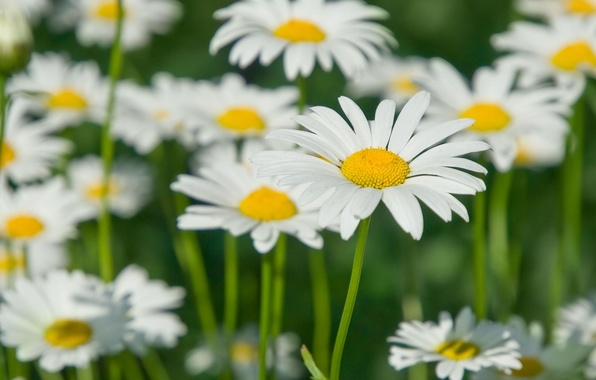 Картинка поле, белый, цветы, желтый, зеленый, фон, widescreen, обои, размытие, лепестки, ромашка, стебель, wallpaper, цветочки, широкоформатные, …