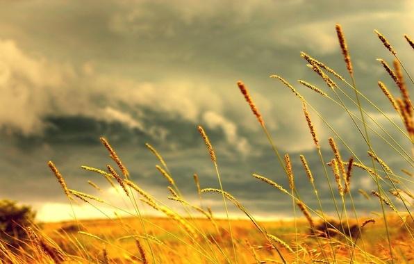 Фото обои трава, желтый, колосс