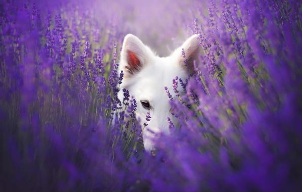 Картинка взгляд, друг, собака, лаванды
