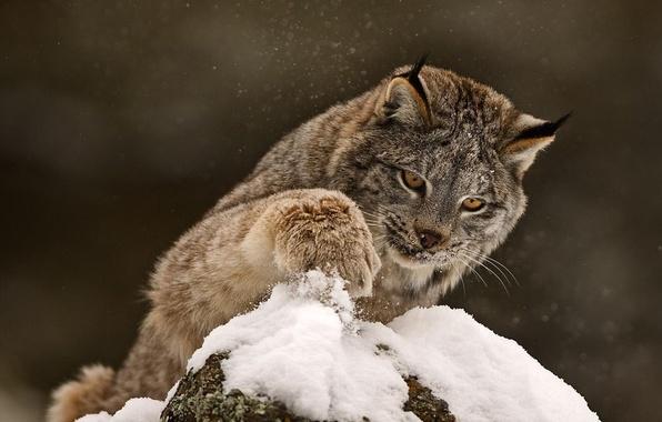Картинка зима, кошка, снег, лапа, хищник, зверь, рысь