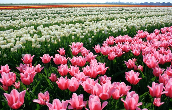 Картинка цветы, природа, тюльпаны, бутоны, tulips, плантация