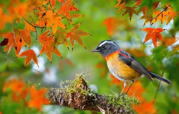 Картинка осень, листья, макро, птица, мох, ветка, фотограф, Тайвань, клён, боке, малиновка, FuYi Chen, Collared Bush-Robin, …