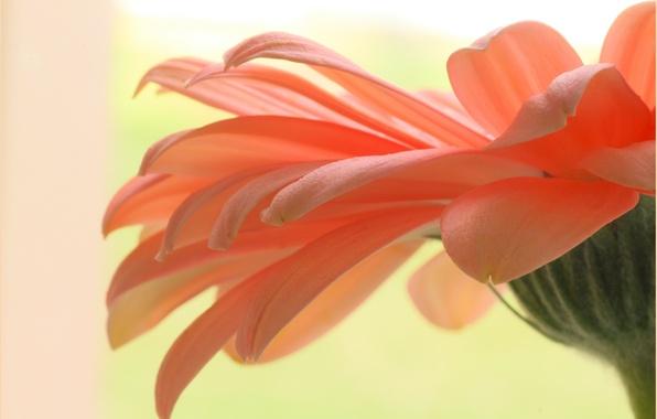 Картинка цветок, растение, лепестки, гербера