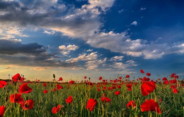Картинка поле, небо, облака, закат, цветы, природа, маки
