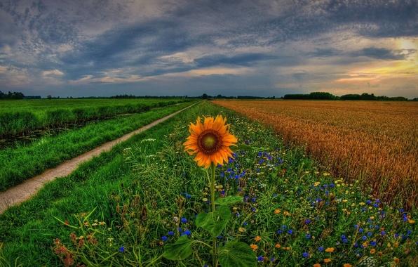 Картинка поле, закат, цветы, подсолнух, колея, Нидерланды, Holland, Голландия, Netherlands, Groningen, Гронинген