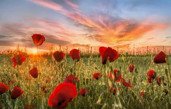 Картинка поле, облака, закат, цветы, природа, луг, Маки, красные