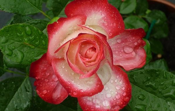 Картинка листья, капли, макро, роза, лепестки, бутон