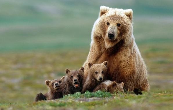 Картинка семья, медведи, медвежата, гризли, медведица