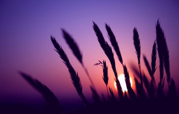 Картинка поле, небо, солнце, макро, закат, Вечер, размытость, колоски, колосья, сиреневое