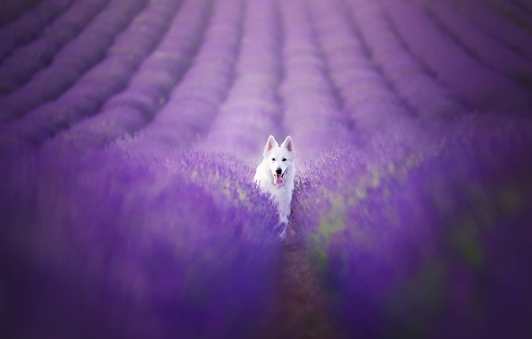 Картинка поле, взгляд, друг, собака, лаванды