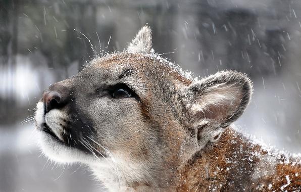 Картинка усы, взгляд, морда, снег, хищник, профиль, пума, горный лев, кугуар