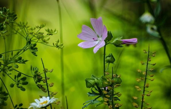 Картинка лес, цветок, макро, лепестки, ромашка