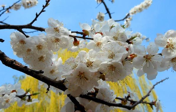 Картинка цветы, природа, дерево, ветка, весна, абрикос